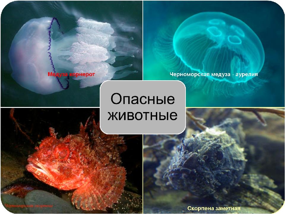 Ядовитые и опасные: вся правда о медузах черного моря