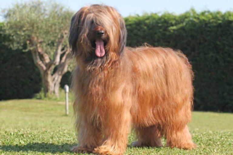 Бриар - порода собак: происхождение, характер, содержание в домашних условиях, отзывы :: syl.ru