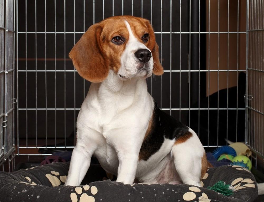 Как правильно ухаживать за собакой породы бигль в квартире, нюансы содержания пса