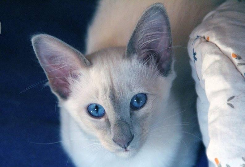 Балинезийские кошки: описание породы, характер, здоровье