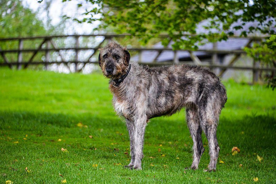 Милый гаргантюа: ирландский волкодав — описание и характеристика породы, цена и фото с человеком
