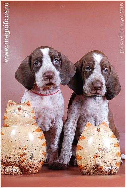 Бракки (континентальная легавая): фото породы собак брак, описание экстерьера и специализации