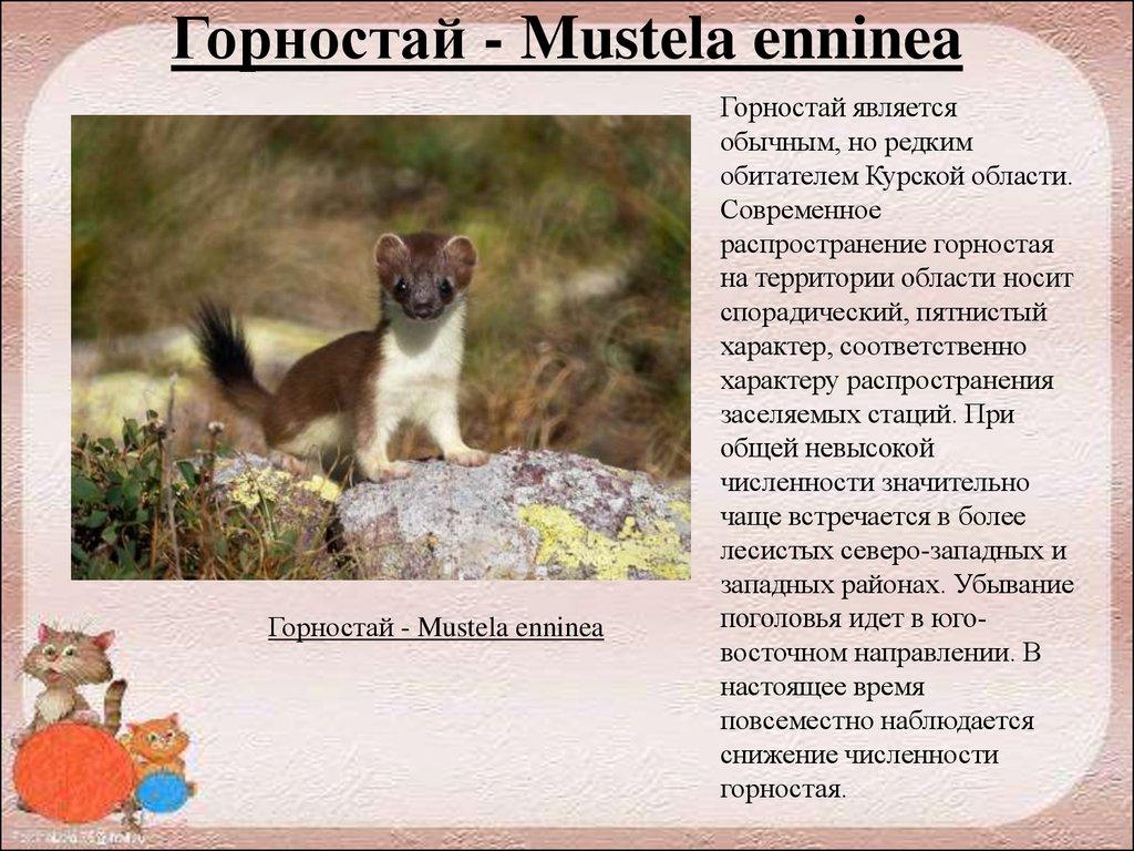 Горностай (лат. mustela erminea), фотографии горностая