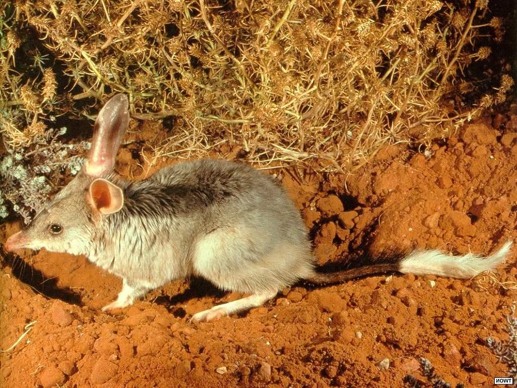 Бандикуты: виды, фото, описание, образ жизни животных