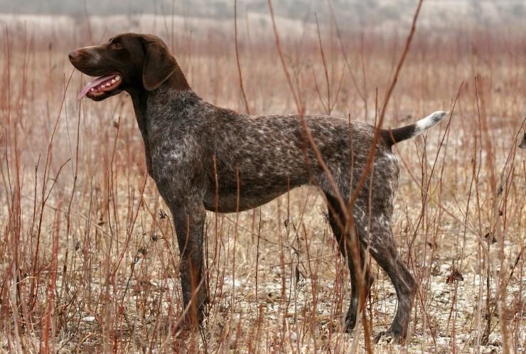Курцхаар (собака): описание немецкой породы