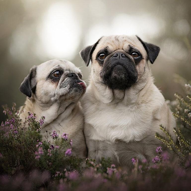 Собака мопс – хрюкающее чудо и верный друг домоседов