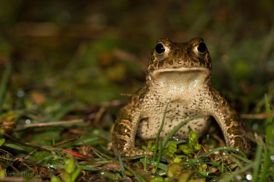 Земляная жаба. описание. чем питается и где обитает