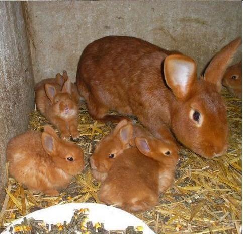 Бургундский кролик: описание породы, фото, содержание и уход, отзывы