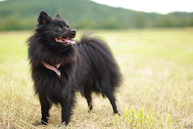 Описание породы собак немецкий шпиц