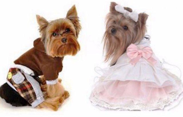 Одежда для йоркширского терьера (йорка) своими руками: как сшить или связать одежду для собак