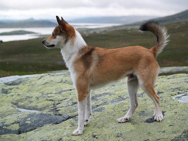 Шведский лаппхунд описание породы собак, характеристики, внешний вид, история