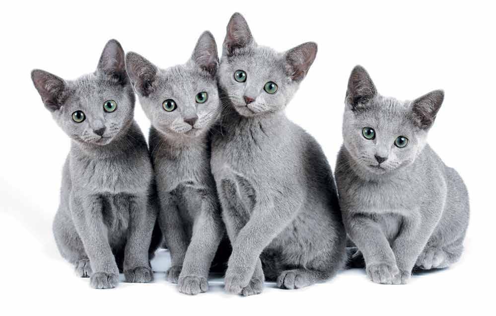 Русская голубая кошка (100 фото): описание внешности и характеристика породы домашней кошки, уход за ней