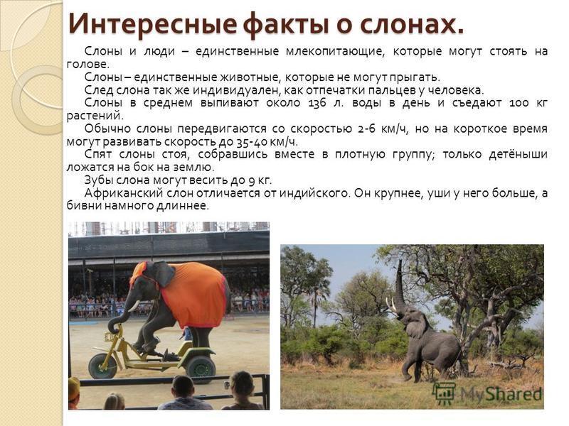 Африканский слон: описание, рост и вес, сколько лет живет