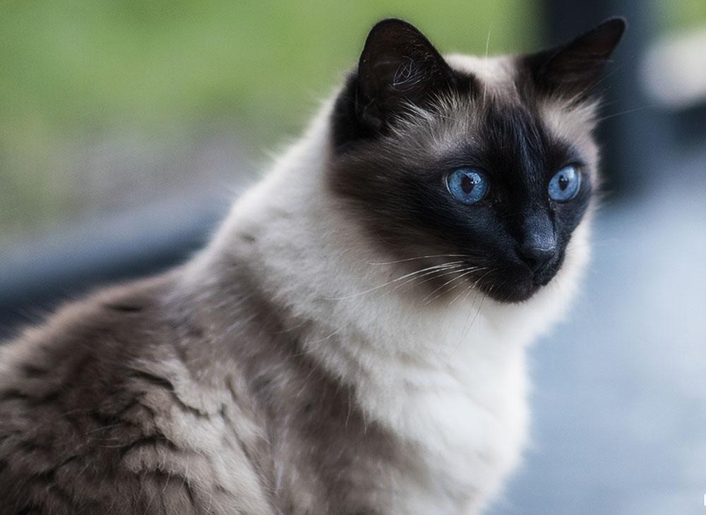 Балинез: отзывы. «балинезийские кошки самые умные!»