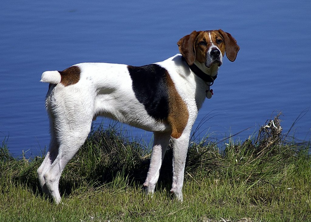 Американская гончая (фоксхаунд): фото породы собак и описание