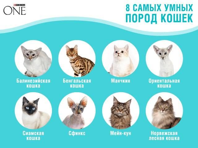 Cамые умные породы кошек в мире с фото и описанием