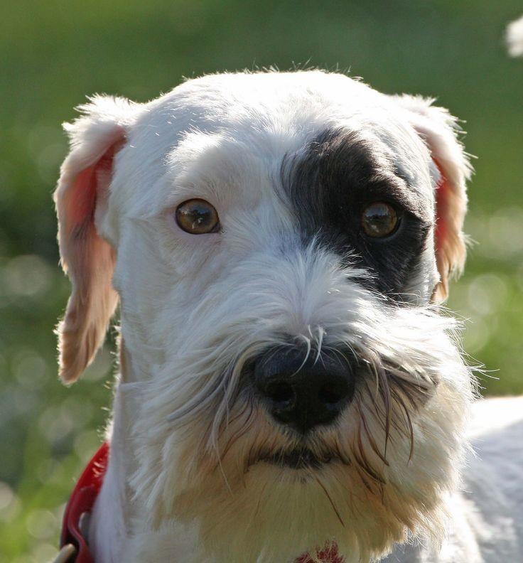 Силихем терьер: описание породы собак с фото и видео
