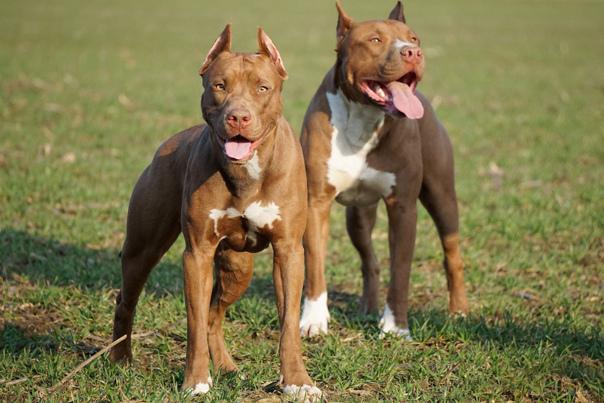 Питбуль - 74 фото доброй но исключительной бойцовой собаки