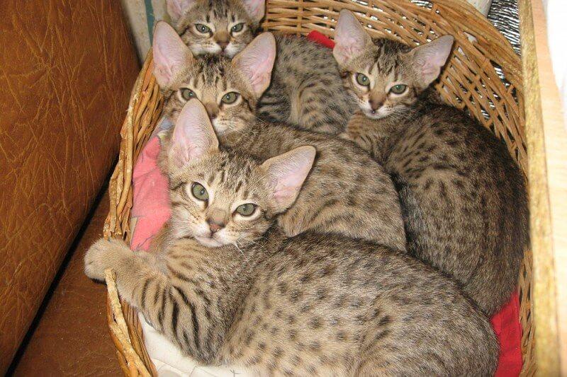 Оцикет – энергичная кошка с леопардовым окрасом