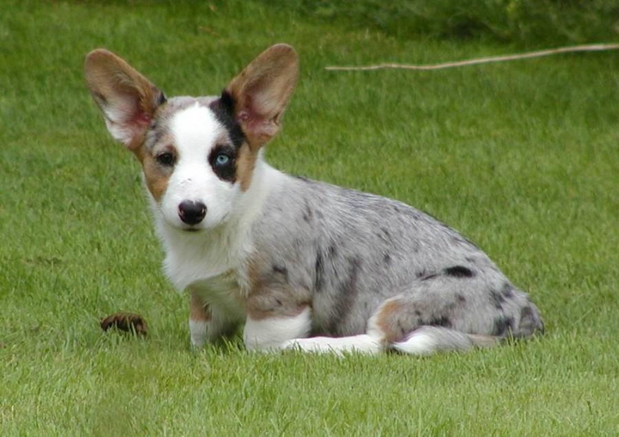 Собака с длинными ушами, 5 букв, первая буква т — кроссворды и сканворды