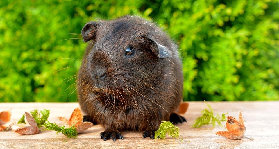 Можно ли кормить морскую свинку дыней?