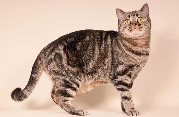 Полосатые породы кошек — список, характеристика и фото