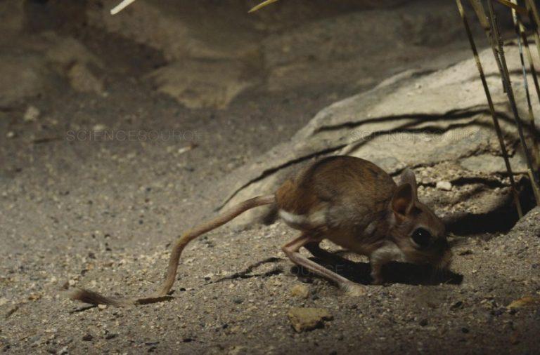 Тушканчик: описание, виды, среда обитания, что ест, враги, образ жизни   планета животных