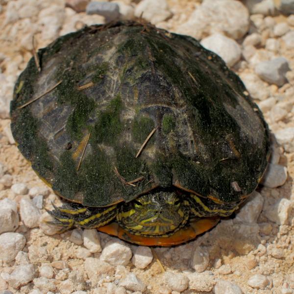 Черепахи облюбовали клязьму в подмосковье: как они зимуют?