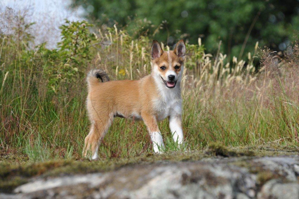 Знакомимся с собакой с севера: охотник норвежский лундехунд