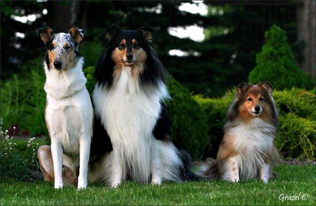 Колли (90 фото): описание породы шотландская овчарка. как выглядят эти собаки? щенки черного, мраморного и белого окраса, разновидности и их характеристика