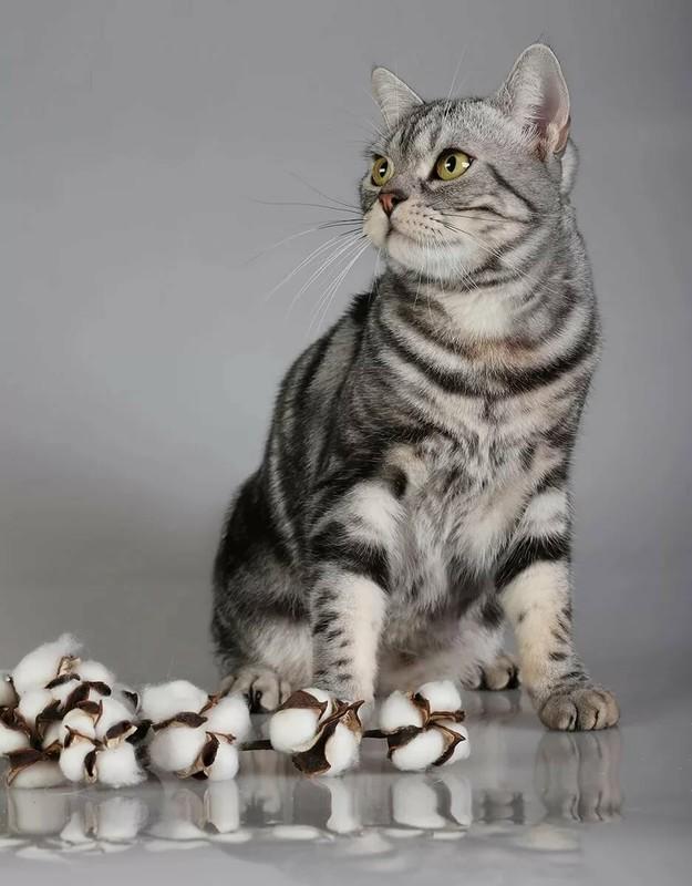 Американская короткошерстная кошка: особенности породы, фото