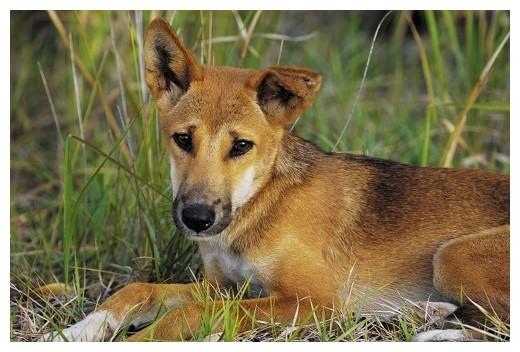 Собака динго. образ жизни и среда обитания собаки динго