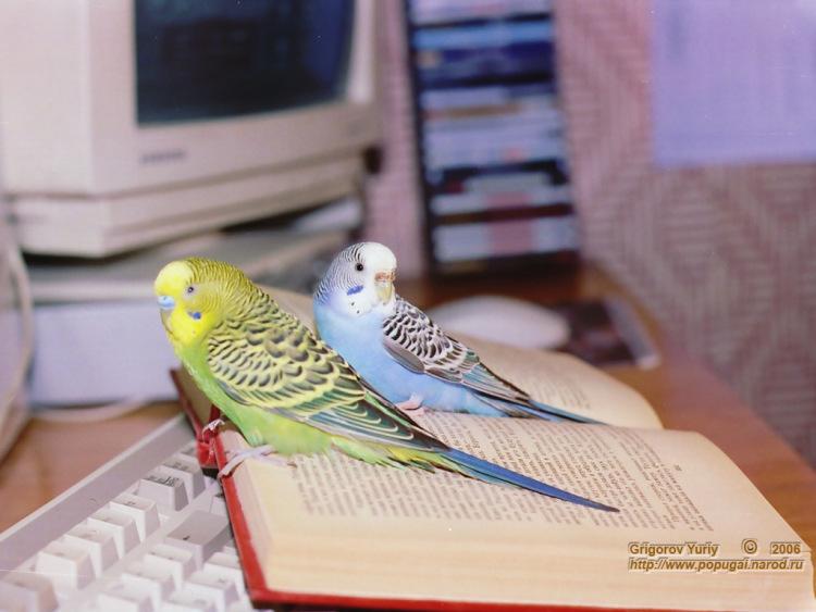 Волнистый попугай как выбрать молодого самца волнистого попугая