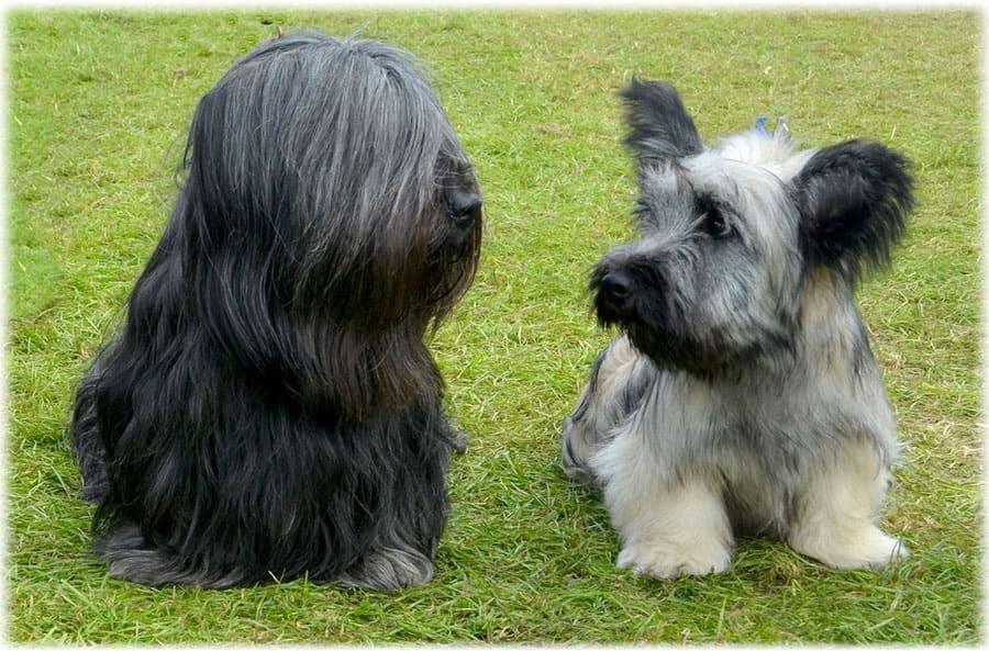 Скай терьер: описание породы, цена щенков