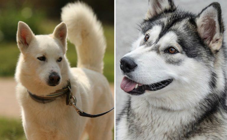 Маламут и хаски отличия: сравнение, в чем разница между собаками с фото, как отличить и кого выбрать, а также подробно о смеси аляскинской и сибирской пород