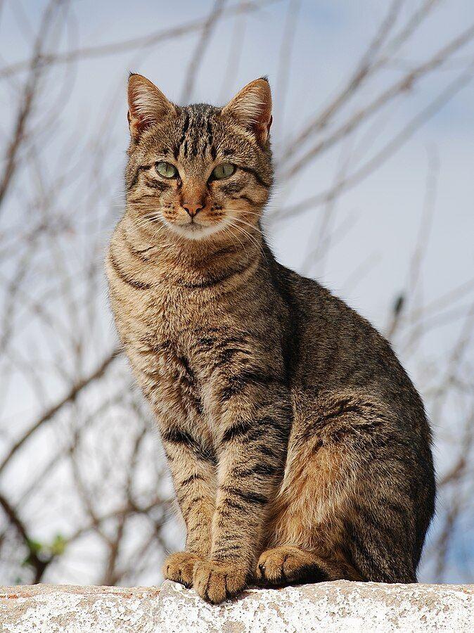 Курильский бобтейл: фото и описание породы, отличия кошки и кота, а также короткошерстной и длинношерстной разновидности