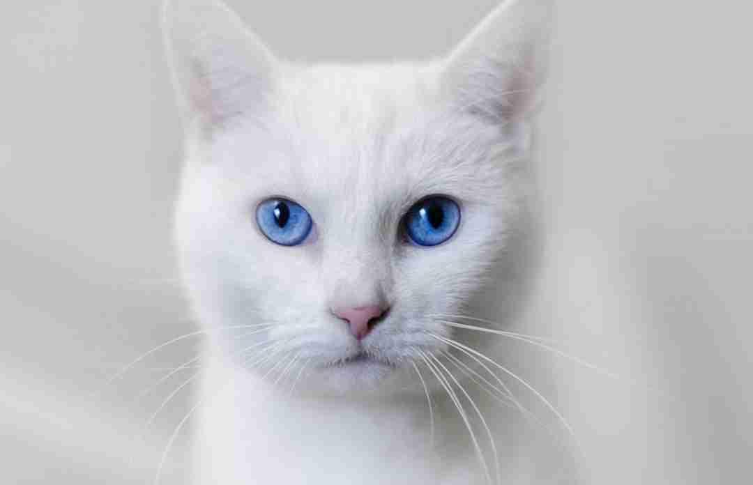 Глухие белые кошки
