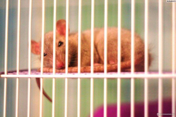 Что надо знать о содержании декоративных крыс в домашних условиях