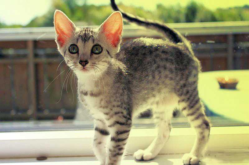 Аравийский мау: все внешние особенности породы, происхождение, содержание и возможные болезни кошки (100 фото)