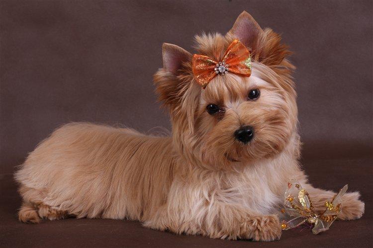 Йоркширский терьер: описание породы, характер собаки и щенка, фото, цена