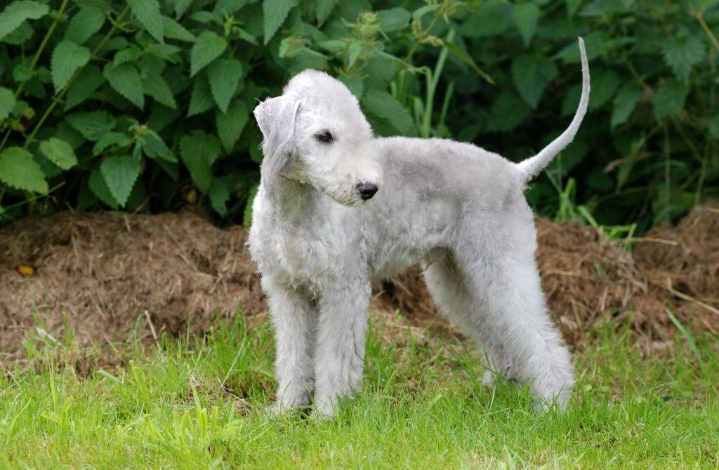Характеристика собак породы бедлингтон терьер с отзывами и фото