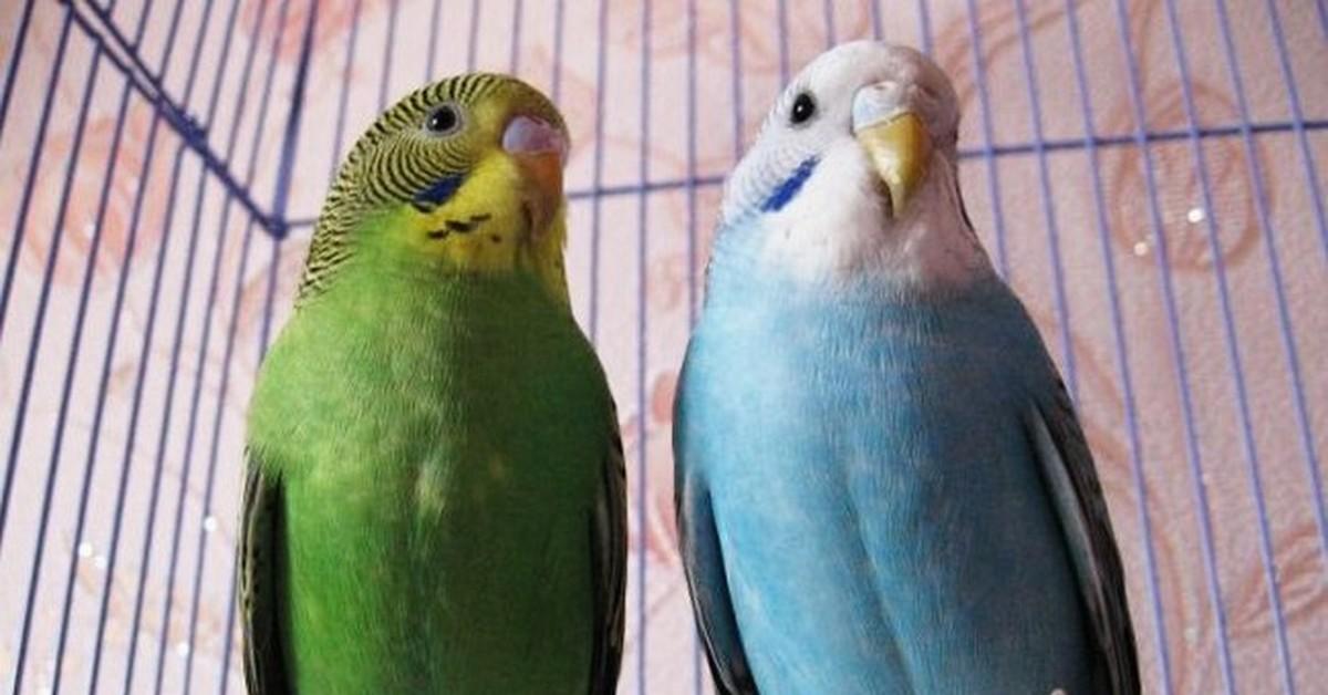 Как выбрать волнистого попугая для дома: в зоомагазине или у заводчиков, на что обращать внимание, если нужен мальчик или говорящая птица