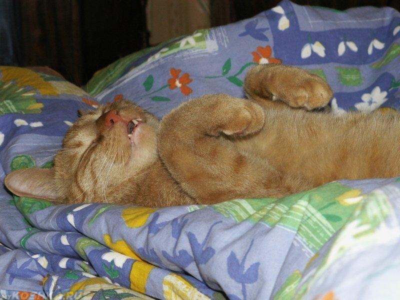 Кошка недает спать ночью: решаем проблему кошачьей бессонницы