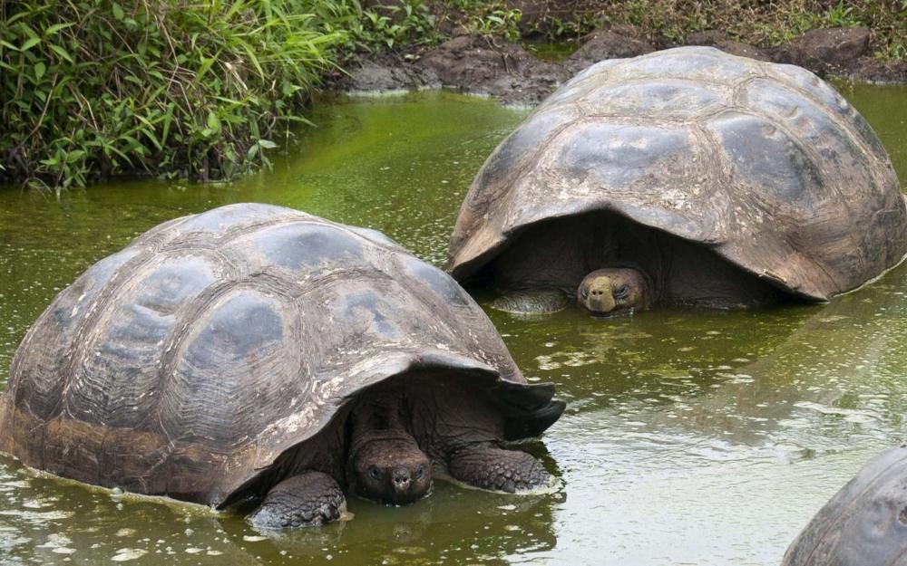 Черепахи в россии: какие разновидности живут и водятся в нашей природе