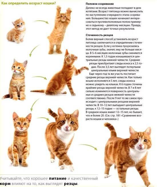 Половое созревание у котов и кошек: в каком возрасте животные становятся половозрелыми?