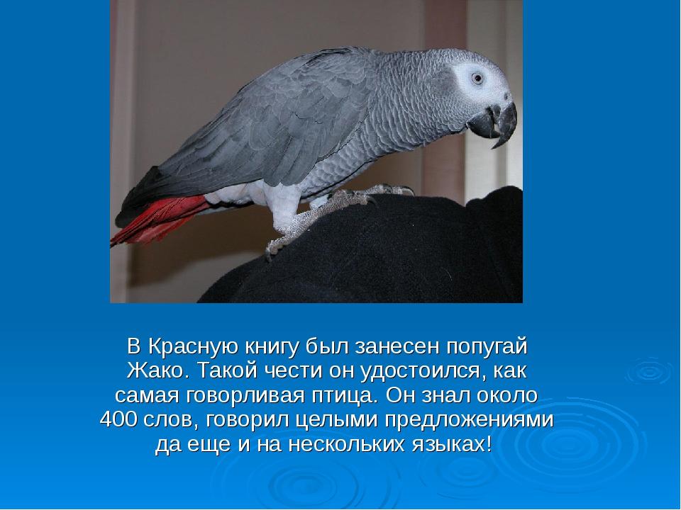 Попугай жако: описание, где обитают, сколько живут, чем питаются