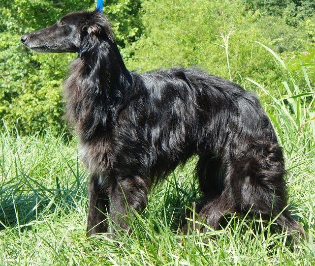 Бладхаунд собака: описание породы, характер, уход, фото
