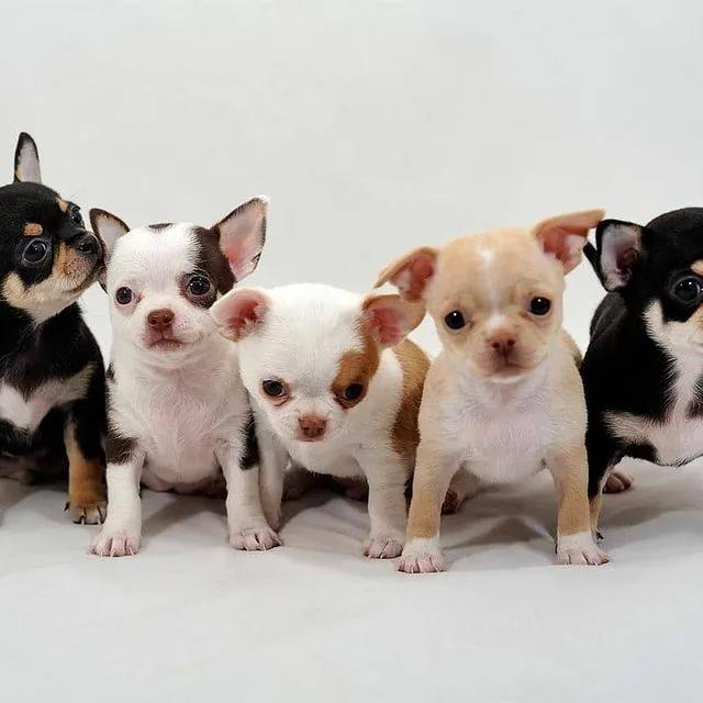 Мини-чихуахуа (58 фото): описание гладкошерстных и длинношерстных взрослых собак. сколько они живут? уход за щенками в домашних условиях