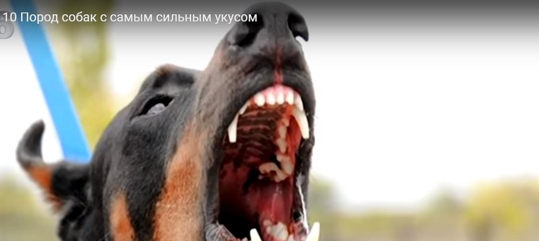 У какой собаки самый сильный укус в мире