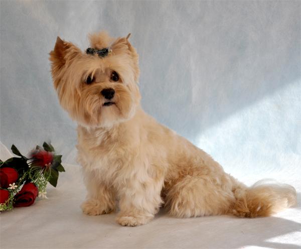 Русская салонная собака (русалка): характеристики породы, фото, характер, правила ухода и содержания - petstory